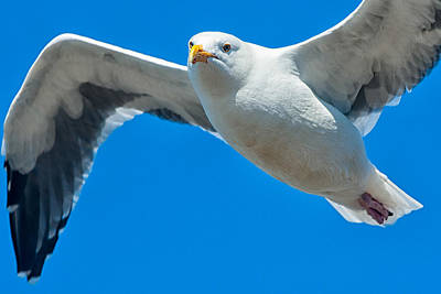 Photograph - Seagull Flying by Celso Diniz