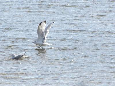 Photograph - Seagull Flywalk On Water by Debbie Nester