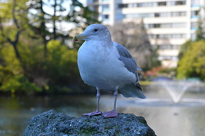 Photograph - Seagull In Beacon Hill Park Victoria Bc by Lawrence Christopher