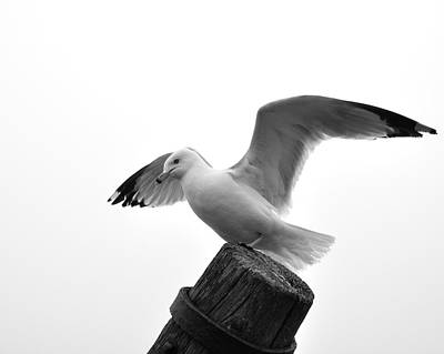 Seagull In Black And White Art Print