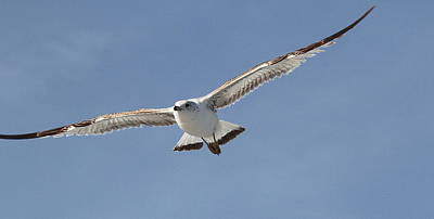 Carnivore Photograph - Seagull In Flight 3 by Cathy Lindsey