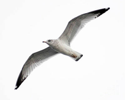 Art Print featuring the photograph Seagull In Flight by Anita Oakley