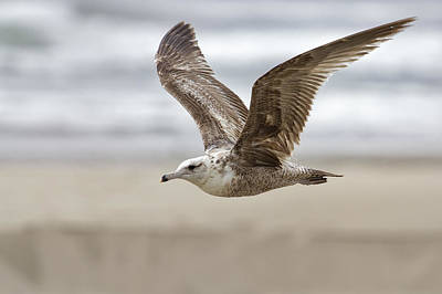 Photograph - Seagull In Flight by Belinda Greb