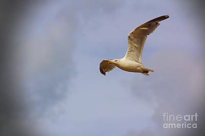 Photograph - Seagull In Flight by Jeremy Hayden