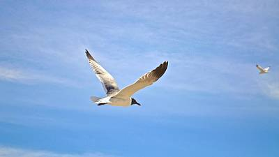 Photograph - Seagull In Flight by Kristina Deane