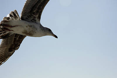 Photograph - Seagull In Flight by Luis Esteves