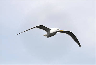 Photograph - Seagull In Flight by Marie Jamieson