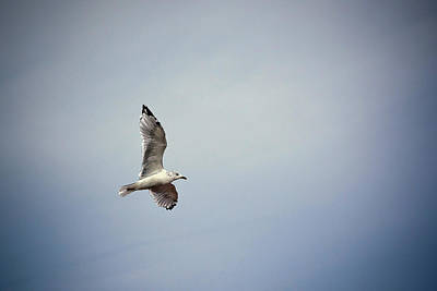Photograph - Seagull In Flight by Sennie Pierson