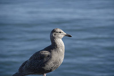 Wildlife Digital Art - Seagull In Thought by Pravine Chester