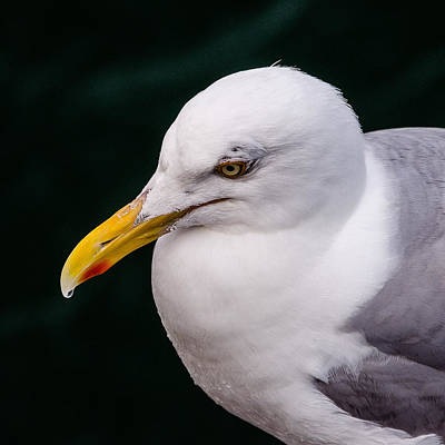 Photograph - Seagull  by Jennifer Kano