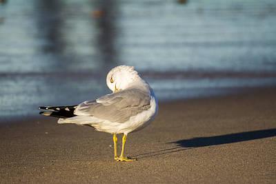 Photograph - Seagull by John McArthur