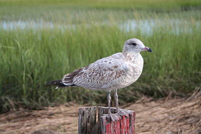 Art Print featuring the photograph Seagull by Karen Silvestri