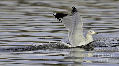 Photograph - seagull - landingP by Rae Ann  M Garrett