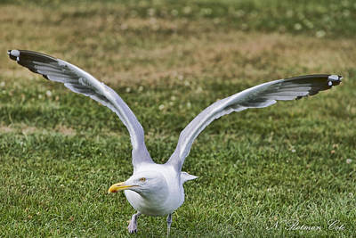 Photograph - Seagull Lift Off by Natalie Rotman Cote