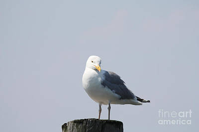 Seagull Looking For Some Food Art Print by John Telfer