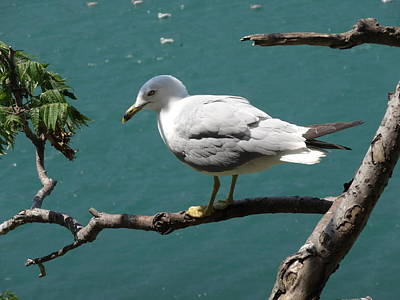 Photograph - Seagull by Lucinda VanVleck
