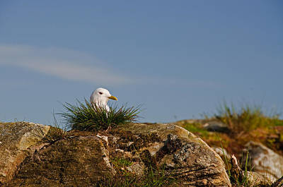 Sun Photograph - Seagull Nesting by Gry Thunes