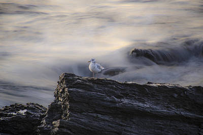 Seascape Photograph - Seagull On A Rock  by Bill Cannon