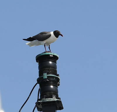 Carnivore Photograph - Seagull On Ferry 3 by Cathy Lindsey