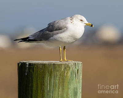 Photograph - Seagull On Post by Gene Berkenbile