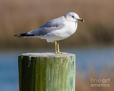 Photograph - Seagull On Post II by Gene Berkenbile