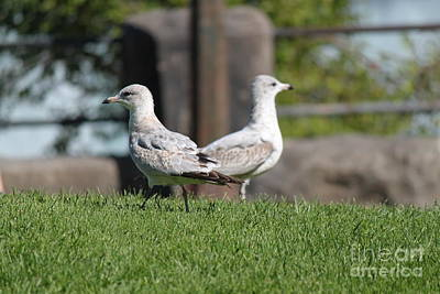 Photograph - Seagull Opposites by Jennifer E Doll