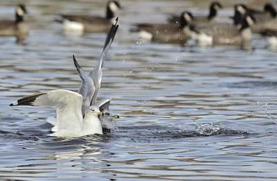 Photograph - Seagull Pair  by Rae Ann  M Garrett