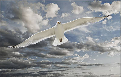 Photograph - Seagull by Rick Mosher