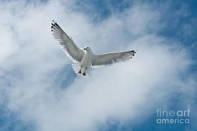 Photograph - Seagull by Sharon Seaward
