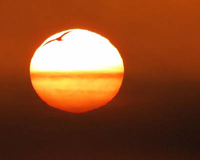 Photograph - Seagull Silhouette by Ramona Johnston