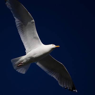 Seagull Underglow Art Print