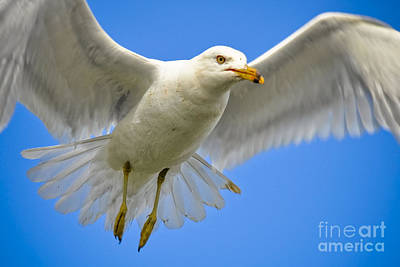 Photograph - Seagull Wings by Gina Savage