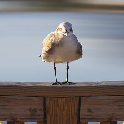 Attitude Photograph - Seagull With An Attitude  by Mike McGlothlen