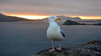 Photograph - Seagull With View Of The Blasket Islands by Barbara Walsh