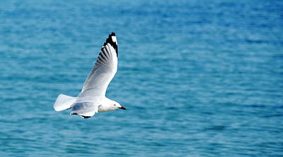 Photograph - Seagull by Yew Kwang