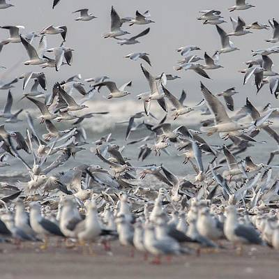 Animals Wall Art - Photograph - Seagulls by Hitendra SINKAR