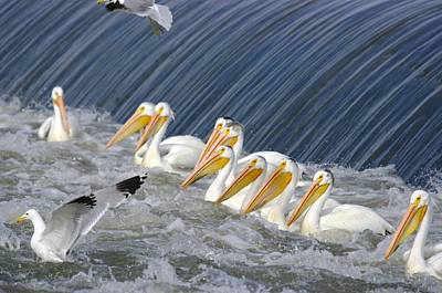 Seagulls Intrude Upon The Pelican Social Gathering Art Print by Jeff Swan