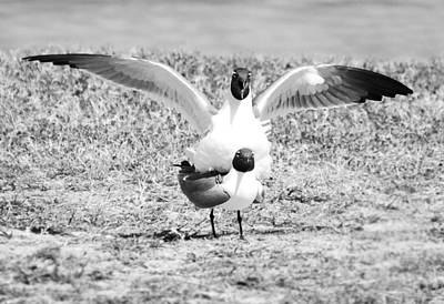 Photograph - Seagulls Mating Black And White Birds by Rebecca Brittain