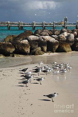 Seagulls On Coco Cay Bahamas Print by Amy Cicconi