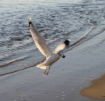 Photograph - Seagull's Prize by Robert Banach
