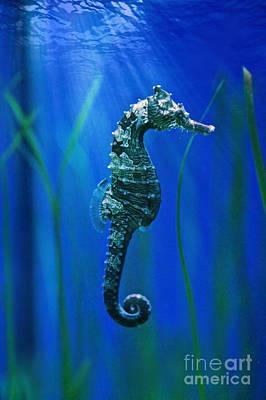 Seahorse Photograph - Seahorse by Carol Groenen