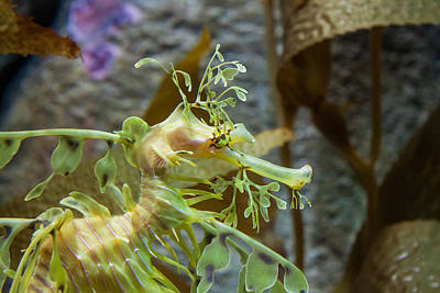 Art Print featuring the photograph Seahorse by Mike Lee