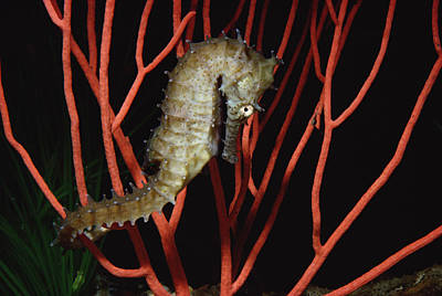 Seahorse On Coral North America Art Print by Flip Nicklin