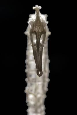 Seahorse Skeleton Vertebrate Exoskeleton Art Print by Paul D Stewart