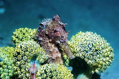 Hippocampus Photograph - Seahorse With Sea Squirts by Georgette Douwma