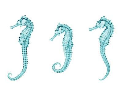 Hippocampus Photograph - Seahorses by Brendan Fitzpatrick