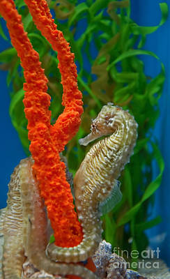 Photograph - Seahorses Curled Up  by Valerie Garner
