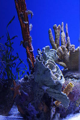 Oceanarium Photograph - Seahorses by Laurie Perry