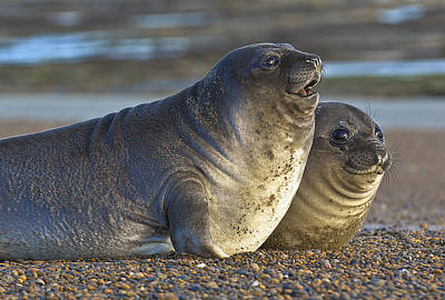 Photograph - Seal Chat by Joan Herwig