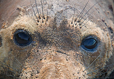 Photograph - Seal Eyes by Leland D Howard